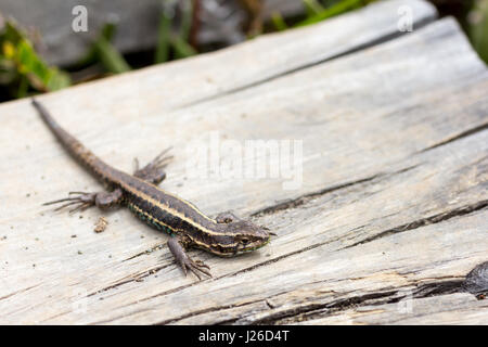 Tiny green lizard with yellow stripes.  sunbathing in the sun over piece of wood. - Stock Photo