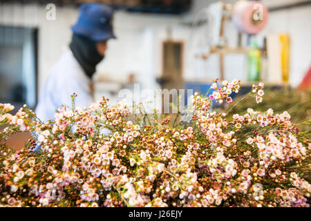 Flower export. Thai migrant works pick flowers in a hothouse Photographed in israel - Stock Photo