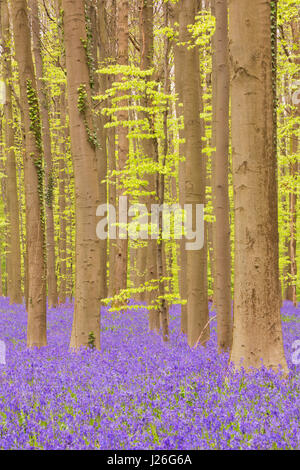 A beautiful blooming bluebell forest. Photographed in the Forest of Halle (Hallerbos) in Belgium. - Stock Photo