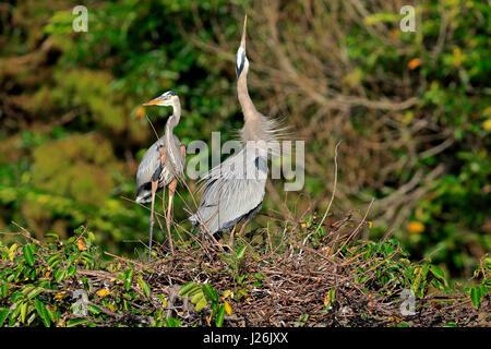 Canadian herder (Ardea herodias), adult couple at nest, courting, Wakodahatchee Wetlands, Delray Beach, Florida, - Stock Photo