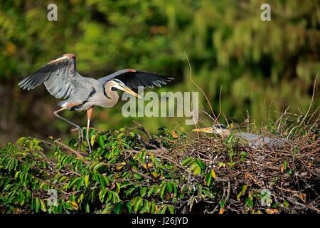 Canada (Ardea herodias), adult couple at nest with nesting material, Wakodahatchee Wetlands, Delray Beach, Florida, - Stock Photo