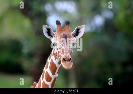 Somali giraffe (Giraffa camelopardalis reticulata), adult, portrait, Occurrence in Africa, captive - Stock Photo
