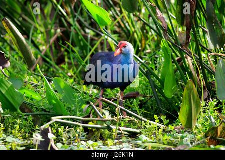 American purple gallinule (Porphyrio martinicus) between aquatic plants, adult on food search, Wakodahatchee Wetlands - Stock Photo