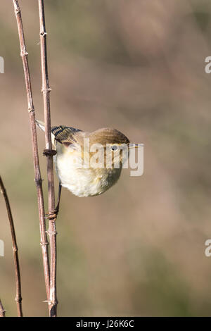 Willow Warbler (Phylloscopus trochilus) on branch, Hesse, Germany - Stock Photo