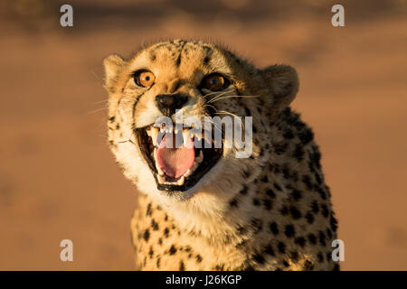 Cheetah growling showing all its teeth, close up photo - Stock Photo
