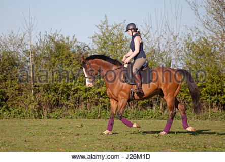 Schooling a horse in grass paddock UK - Stock Photo