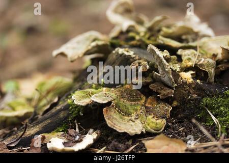 Plate mushrooms on a tree stump. Mushrooms feed on decaying, wood - Stock Photo