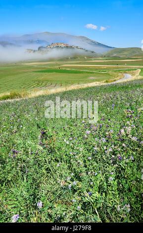 Lentils growing on the Piano Grande, Great Plain, of Castelluccio di Norcia, Parco Nazionale dei Monti Sibillini - Stock Photo