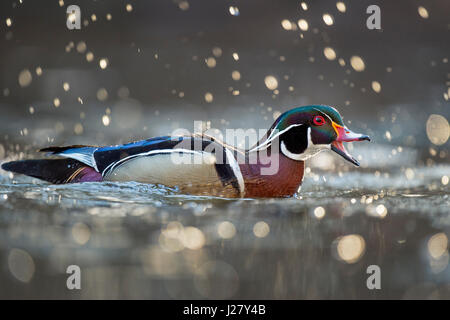 A male Wood Duck calls out with his beak open as a splash of water drops are glowing in the morning sun around him - Stock Photo