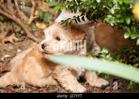 Playing havanese puppy hiding in a bush. - Stock Photo