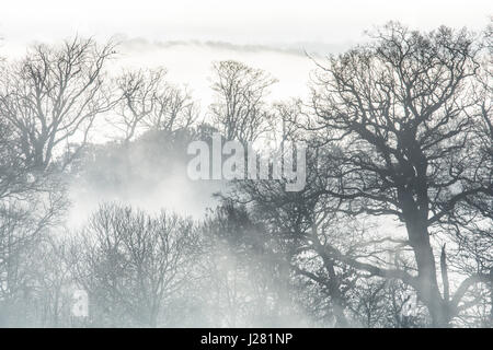 Branches of large trees silhouetted in morning low mist and fog. Sussex, UK. December. - Stock Photo
