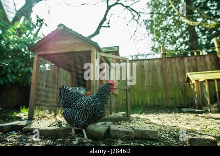 Chicken walking on field in farm - Stock Photo