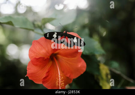 Close-up of Laparus doris on hibiscus - Stock Photo