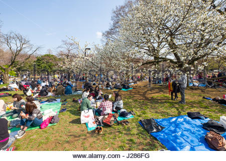 Groups of people sitting on tarps and blankets under cherry blossoms as part of the Japanese tradition of Hanami - Stock Photo