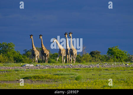 Angolan giraffe Giraffa giraffa angolensis known as Namibian giraffe, is a subspecies of Southern giraffe found - Stock Photo