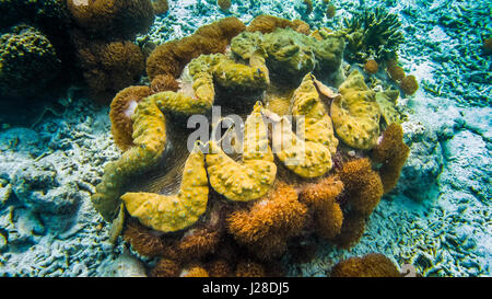 Giant colorful clam Tridacna gigas grows in the bottom in Raja Ampat, Indonesia - Stock Photo