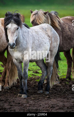 ICELAND HORSES ARE NOTED FOR THEIR UNUSAL COLORS AND FOR THEIR LING MANES AND TAILS. - Stock Photo
