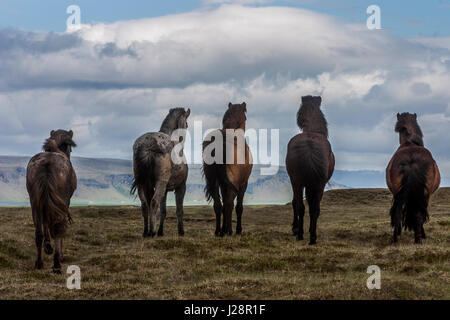 ICELAND HORSES ARE NOTED FOR THEIR UNUSUAL COLORS AND LONG MANES AND TAILS - Stock Photo