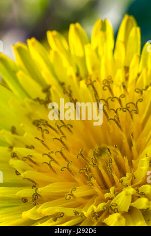 Beauty yellow dandelion flower .close up - Stock Photo