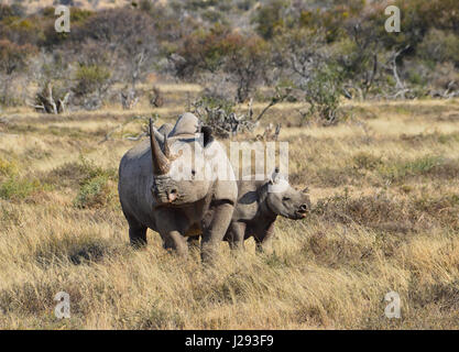 A Black Rhino mother and her 6 month olf calf in Southern African savanna - Stock Photo