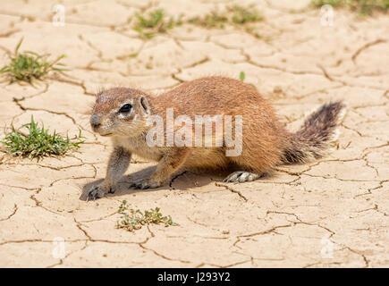 An African Ground Squirrel in Southern African savanna