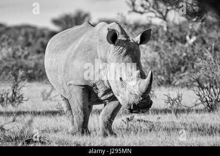 White Rhinoceros in Southern African savanna - Stock Photo