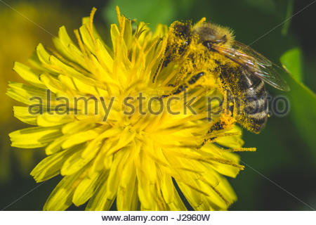 Dandelion. Spring flower. Bee loves this flower. This flower grows in parks. - Stock Photo