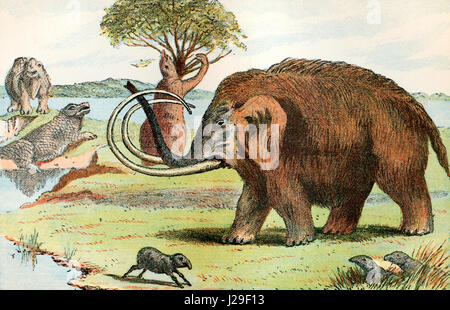 The woolly mammoth (Mammuthus primigenius).  A species of mammoth that lived during the Pleistocene epoch.  From - Stock Photo
