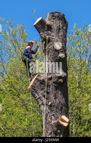 Tree Surgeon Arborist Arboriculture Expert Dangerous Occupation Cutting Down Tree Using Chain Saw Working at Height - Stock Photo