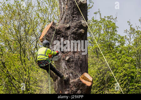 Tree Surgeon Cutting Down Tree Arboriculture Arboriculturist Dangerous Occupation Working at Height Using a Chain - Stock Photo