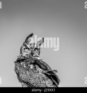 Great Horned Owl Looking Backwards in the Wind against a Blue Sky in Black an - Stock Photo
