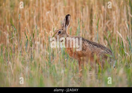 Brown Hare  adult sniffing wheat in wheat field  Powys, Wales, UK - Stock Photo