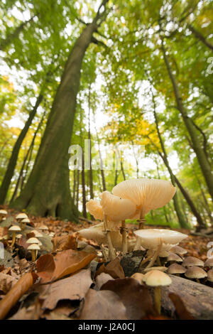 Group of porcelain fungi in beech forest - Stock Photo