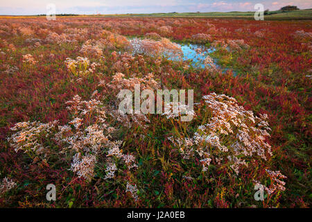 Common sea-lavender in the nature reserve IJzermonding near Nieuwpoort, Belgium - Stock Photo