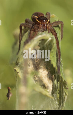 A great raft spider protects her web with her eggs - Stock Photo