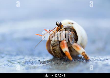 Macro picture of a Land Hermit crab on the beach of Borneo, Sarawak - Stock Photo