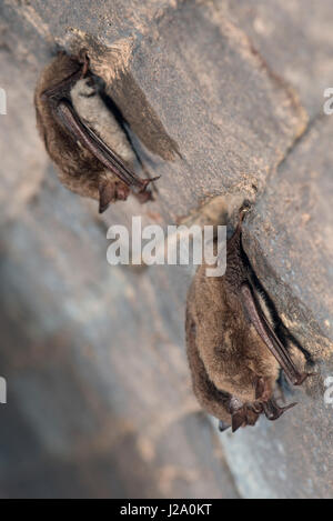 Three hibernating daubenton's bats in a cellar - Stock Photo