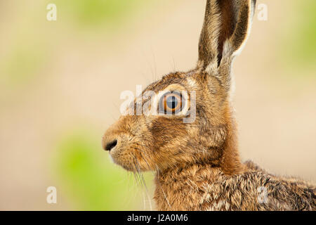 Brown Hare  adult head and shoulders close-up shot in profile  Powys, Wales, UK - Stock Photo