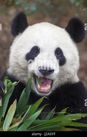 portrait of a giant panda feeding on bamboo - Stock Photo