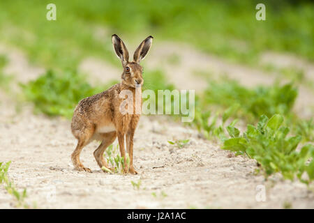 Brown Hare  adult in crop field  Powys, Wales, UK - Stock Photo
