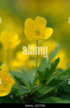 Yellow Anemone in flower - Stock Photo