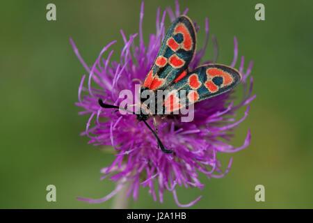 Zygaena fausta on a purple flower - Stock Photo