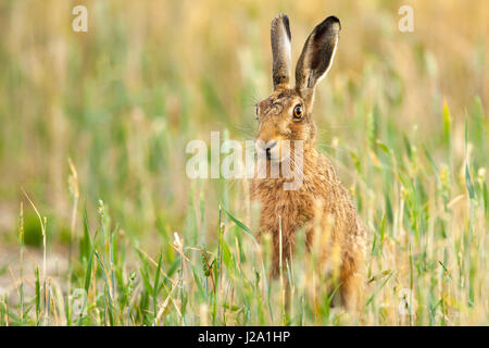 Brown Hare  adult sitting in wheat field  Powys, Wales, UK - Stock Photo