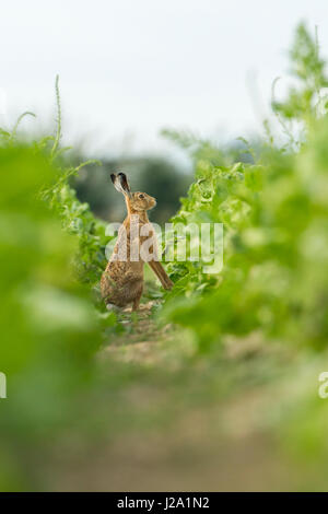 Brown Hare  adult sitting in crop furrow  Powys, Wales, UK - Stock Photo