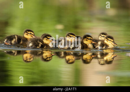 Young ducks swimming in a row behind their mother - Stock Photo