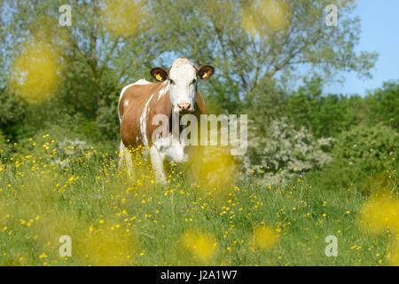 Cows foraging and relaxing in the rich river forelands of nature reserve Cortenoever - Stock Photo