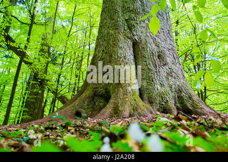 Primeval forest in the Bavarian forest National Park in Germany - Stock Photo