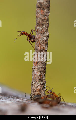 red wood ant on branch