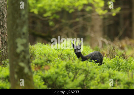 Rarity: Black Roe Deer buck in the forest. - Stock Photo