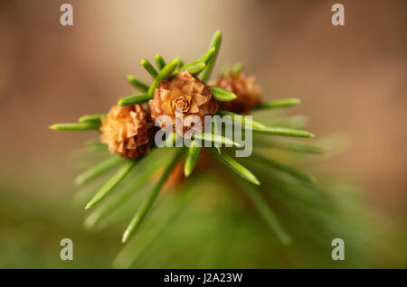 Buds on a branch of a spruce - Stock Photo